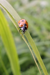 366 - Image 173 - Ladybird... (Gary Neville) Tags: sony photoaday 365 mk3 2016 366 garyneville rx100 365images 366images sonycybershotrx100 sonycybershotrx100iii