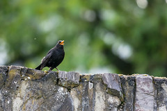 Male Blackbird in Song (abritinquint Natural Photography) Tags: bird vogel natural nature wild wildlife nikon d7200 telephoto 300mm pf f4 300mmf4 nikkor teleconvertor tc14eii pfedvr germany luxembourg trier mosel river water blackbird