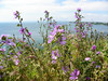 Wild flowers at Cape Kaliakra, Bulgaria (cod_gabriel) Tags: flowers sea seaside mare bulgaria wildflowers litoral blacksea bulgarie bulgarije bulgarien dobrudja kaliakra bulgaristan bugarska בולגריה bułgaria dobrogea dobroudja ブルガリア българия cadrilater bulgária theblacksea болгария βουλγαρία floridecamp 保加利亚 dobrudża mareaneagră dobruca dobruja добруджа dobrudža bulgarianseaside بلغارستان 불가리아 بلغاريا 保加利亞 dobrudzsa dobrugia dobroedzja dobrudzja 多布羅加 floridecâmp बुल्गारिया litoralulbulgar litoralulbulgăresc bulgarianriviera българскочерноморие دبروجة rivierabúlgara