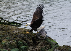 IMGP4707 (annahesser) Tags: blue heron eagle great bald