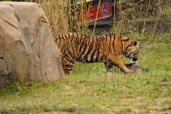 Islands at Chester Zoo (128) (rs1979) Tags: zoo islands tiger chester sumatrantiger chesterzoo