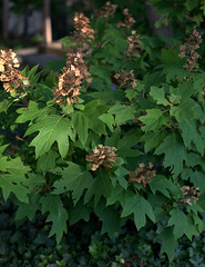 IMG_0137.CR2 (jalexartis) Tags: flowers summer flower blossom bloom hydrangea shrub shrubbery driedflowers oakleafhydrangea driedblossoms driedblooms