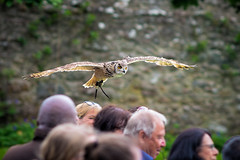 Bengal Eagle Owl (Garian Photography) Tags: scotland highlands sony raptor sutherland bengaleagleowl a7 birdofprey falconry bif topaz lightroom birdinflight carlzeiss golspie dunrobincastle mflenses carlzeiss180mmf28sonnar