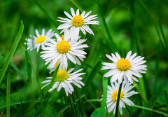 Daisy's (williams19031967) Tags: white flower olympus bunch daisy omd em1