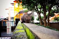 (RU333333chang) Tags: cat alleycat  straycat ricohgr2