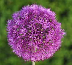 flower planet... (Simple_Sight) Tags: flower macro closeup bokeh pflanze blume makro doublefantasy giantallium riesenlauch