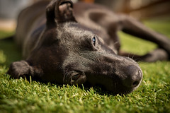 Chillin (darrenball189) Tags: sleeping dog sun black grass sunshine garden lay