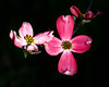 Pink Dogwood Blossoms (Dalliance with Light (Andy Farmer)) Tags: pink flower macro tree nature us newjersey unitedstates blossom dogwood flowersplants eastbrunswick rutgersgardens