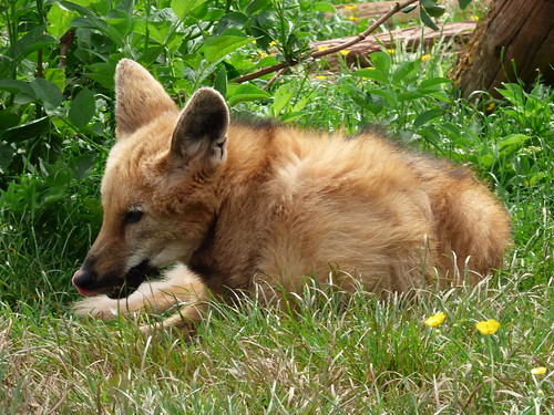 south lakes zoo - maned wolf (3)