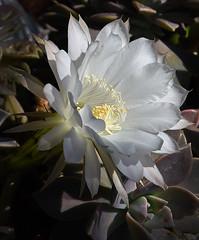 flower white yellow center fringe (Greg Harder) Tags: cactus flower downey 716