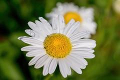 Shasta OK (brev99) Tags: macro garden petals bokeh waterdrops selectivefocus whiteflowers shastadaisy greenbackground d7100 topazdenoise tamron180f35 topazdetail cacorrection dxooptics8