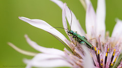 Oedemera nobilis (VeNature) Tags: flowers wild macro nature grass fauna wildlife meadow beatle grassland nobilis oedemera