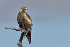 _DSC9630 (slackest2) Tags: bird raptor wedge tailed eagle wedgetail tree brach sky