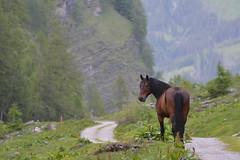 DSC_4908 (d90-fan) Tags: horse animals outdoors austria tiere sterreich natur pferde pferd rauris hohetauern tauern krumltal raurisertal
