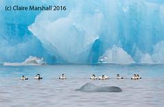Eiders and ice (Claire Marshall 3) Tags: eider duck sea seabird iceland jokulsarlon ice glacier chilling ducks blue