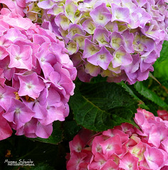 3 Shades of Pink (Setsukoh) Tags: pink france flower green nature fleur rose closeup plante star frankreich zoom violet blumen vert shade lorraine nuance toile hortensia hydrangeamacrophylla grandest brochall parme lothringen grandergion grosregion