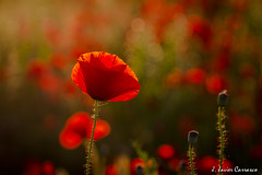 Amapola (AvideCai) Tags: flores atardecer amapolas tamron2470 avidecai