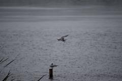Upside down Tern (dgspen) Tags: ireland nature birds wildlife northernireland ulster rspb commontern portmorelough