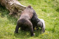 2016-06-16-12h34m40.BL7R9810 (A.J. Haverkamp) Tags: canonef100400mmf4556lisiiusmlens rotterdam zoo dierentuin blijdorp diergaardeblijdorp httpwwwdiergaardeblijdorpnl gorilla westelijkelaaglandgorilla nasibu dob01042007 pobfrankfurtgermany bokito dob14031996 pobberlingermany