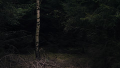 The Birch Tree (Netsrak) Tags: trees tree forest de deutschland woods darkness eifel birch wald bäume baum nordrheinwestfalen birke birchtree dunkelheit forst badmünstereifel