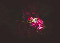 Moonstone Orbs (Hummingdust) Tags: pink flowers light flower macro vintage gold nikon dof beautifullight naturallight jewelry ring tamron f28 moonstone 2470 nikondf