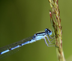 04-IMG_2490 (hemingwayfoto) Tags: flgel hellblau hufeisen insekt lebewesen libelle natur panther tier tieraugen becherjungfer