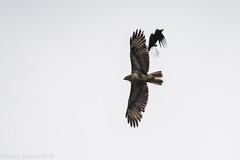 carrion crow v buzzard (RCB4J) Tags: sky bird art nature photography flying wildlife raptor corvid buteobuteo commonbuzzard carrioncrow corvuscorone aerialcombat sigma150500mmf563dgoshsm ronniebarron rcb4j sonyilca77m2