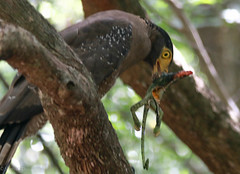 Serpent Eagle (ShehanT) Tags: nature birds forest wildlife jungle hunter srilanka chameleon eagles mothernature birdlovers wilpattu serpenteagle canonef70300mm canoneos70d wilpattunationalpark