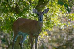 MamaInMilk (jmishefske) Tags: park june wisconsin mom milk nikon wildlife doe deer milwaukee whitetail 2016 whitnall halescorners d800e