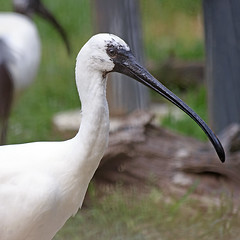 Black-faced Spoonbill (Johnnie Shene Photography(Thanks, 1Million+ Views)) Tags: wild portrait white macro bird nature face animal canon square lens photography natural zoom outdoor head wildlife birding sigma tranquility nopeople headshot apo depthoffield modified sideview 70300mm staring halflength adjustment stork freshness dg spoonbill tranquilscene blackfacedspoonbill fragility threskiornithidae f456  colourimage  foregroundfocus   plataleinae eos600d rebelt3i kissx5