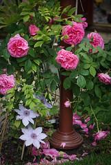 Gertie and friends! (judy dean) Tags: pink rose garden clematis verandah wisteria gertrudejekyll 2016 judydean sonya6000