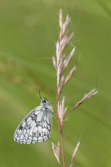 Le Demi-Deuil (Melanargia galathea) (regisfiacre) Tags: white black macro green nature butterfly insect noir meadow vert bugs papillon prairie blanc insecte echiquier melanargia galathea