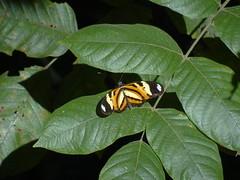 DSC04660 (familiapratta) Tags: nature insect iso100 sony natureza insects inseto insetos hx100v dschx100v