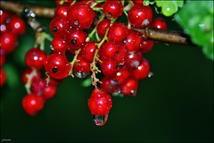 redcurrants (franciska_bosnjak) Tags: red drops raindrops waterdrops redcurrants