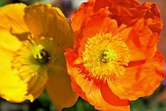 poppies, my pretties... (armykat) Tags: longwoodgardens poppies poppy flowers floral natureycrap gardens cmwdorange kennettsquarepennsylvania