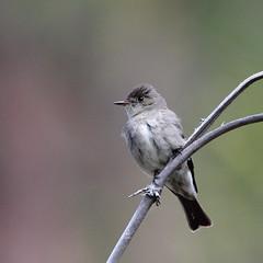 Western wood pewee (jlcummins - Washington State) Tags: bird nature wildlife washingtonstate yakimacounty bethelridge