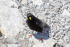 Feed Me! (prof@worthvalley) Tags: alpine chough