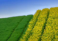 R(h)apsodie in Gelb-Grn - R(h)apsody in Yellow-Green (W_von_S) Tags: abstract green field yellow wow germany landscape bayern deutschland bavaria spring colorful soft outdoor sony may feld rape mai gelb grn minimalism landschaft raps farbig impression werner abstrakt frhling rapsfeld 2015 rapefield minimalismus wvons rhapsodieingelbgrn rhapsodyinyellowgreen