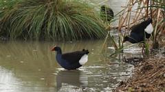 Porphyrio melanotus (Diana Padrn) Tags: bird birds ave aves australia victoria cussen park nature wildlife naturaleza humedal humedales australasian swamphen calamn pukeko porphyrio melanotus