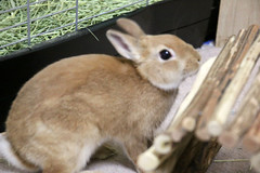 Ichigo san 231 ICHIGO san  (mensore) Tags: family pet brown cute rabbit bunny dwarf netherland ichigo   netherlanddwarf