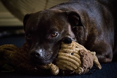 (earthly magic 11) Tags: dog pet love puppy snuggle teddy cuddle brindle staffordshire staffy snuggly