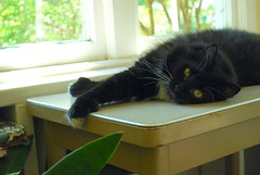 Batman's paw (rootcrop54) Tags: male window cat table paw chat eyecontact weekend longhair tuxedo kitteh batman hemingway  macska gatto katzen kot koka kedi polydactyl katt kissa kttur maka kucing    extratoes kat  maek kais pisic gorbe fluffalicious