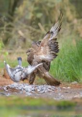 Buzzard (jacobsfrank) Tags: wood bird nature nikon flickr belgium belgie forrest natuur buzzard bos birdofprey vogel kalmthout buizerd nikond500