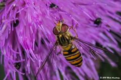 Hoverfly_Episyrphus balteatus09.jpg (T9FURY) Tags: july hoverfly rutlandwater 2016 episyrphusbalteatus