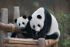 10-month-old (almost) Nuan Nuan and mother Feng Yi aka Liang Liang 2016-06-17 (kuromimi64) Tags: zoonegara malaysia   zoo nationalzoo zoonegaramalaysia kualalumpur bear   panda giantpanda     fengyi  liangliang nuannuan