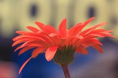 Happy  Happy (Rajavelu1) Tags: red flower sdof green plant kerala india art artland creative canon60d macrophotograph ef100mmf28macroisusm