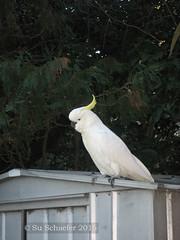 Cocky 2 of 2: THIS is my best side... (Su_G) Tags: bird nature birds sydney australian australia whatareyoulookingat whitebird sulphurcrestedcockatoo australianwildlife australianbird sug sydneynsw sulfercrestedcockatoo thisismybestside gordonnsw