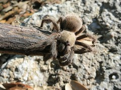 Texas Brown Tarantula (Aphonopelma hentzi) (BrendanMcGarry) Tags: nature outside texas birding birdwatch concan trantula 2013 nealslodge brendanmcgarry seattleaudubon wingtriporg