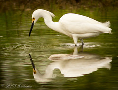White Egret reflection (Rick Smotherman) Tags: park nature water birds canon garden outdoors morninglight spring fishing pond stream feeding may overcast 7d runningwater forestpark cloudysky canon300mmf4l canon7d canon14teleconverter