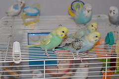 Three Little Budgies (joel7223) Tags: pet bird birds budgerigar budgie parakeets budgies